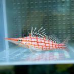 Yahoo!アクアギフトクダゴンベ 4-6cm !海水魚 ゴンベ 餌付け 【PHセール対象】【ゴンベ】