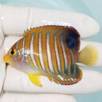 【現物19】インドニシキヤッコ 10.5cm± !海水魚 ヤッコ15時までのご注文で当日発送【ヤッコ】