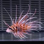 ネッタイミノカサゴ 7-10cm±! カサゴ 海水魚 15時までのご注文で当日発送【カサゴ】