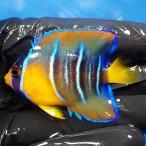 【現物40】クイーンエンゼル 5.5cm± !海水魚 ヤッコ 15時までのご注文で当日発送【ヤッコ】