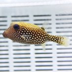 クロハコフグ 6-8cm± フグ 海水魚! 15時までのご注文で当日発送【フグ】
