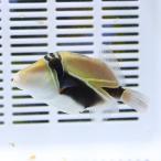 タスキモンガラ 6-8cm±! 海水魚 モンガラ 餌付け15時までのご注文で当日発送【ハギ】