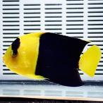 ソメワケヤッコ 7-10cm±! 海水魚 ヤッコ15時までのご注文で当日発送【ヤッコ】