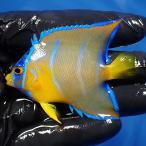 【現物44】クイーンエンゼル 5cm± ヒレ欠け!海水魚 ヤッコ 15時までのご注文で当日発送【ヤッコ】