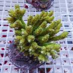 【サンゴ現物5】ミドリイシ フィジー!15時までのご注文で当日発送 【べっぴん珊瑚祭り対象商品】