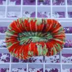 【サンゴ現物6】オオバナサンゴ !15時までのご注文で当日発送 【サンゴ/インドネシア/ID】