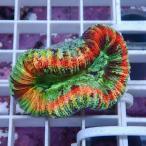 【サンゴ現物9】オオバナサンゴ  !15時までのご注文で当日発送 【サンゴ】