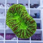 【サンゴ現物11】オオバナサンゴ  !15時までのご注文で当日発送 【サンゴ】
