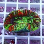 【サンゴ現物16】オオバナサンゴ !15時までのご注文で当日発送 【サンゴ】
