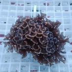 【サンゴ現物5】ナガレハナサンゴ!15時までのご注文で当日発送