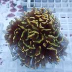 【サンゴ現物6】ナガレハナサンゴ!15時までのご注文で当日発送