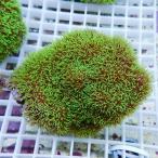 【サンゴ現物6】スターポリプ!15時までのご注文で当日発送 【サンゴ/インドネシア/ID】