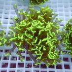 【サンゴ現物46】ナガレハナサンゴ !15時までのご注文で当日発送 【サンゴ/ベトナム/無脊椎】