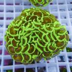 【サンゴ現物42】ナガレハナサンゴ!15時までのご注文で当日発送【サンゴ】