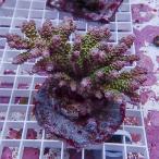 【サンゴ現物19】オージー ミドリイシ !15時までのご注文で当日発送 べっぴん珊瑚祭り対象
