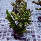 【サンゴ現物49】オージー ミドリイシ ! 15時までのご注文で当日発送 べっぴん珊瑚祭り対象