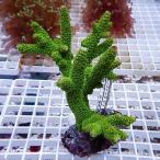【サンゴ現物50】フィジー ミドリイシ ! 15時までのご注文で当日発送 べっぴん珊瑚祭り対象