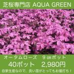 芝桜(シバザクラ)40ポット オータムローズ