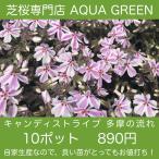 芝桜(シバザクラ)10ポット キャンディストライプ(多摩の流れ)