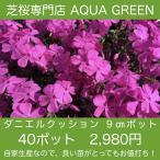 芝桜(シバザクラ)40ポット ダニエルクッション
