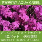 期間限定 春の芝桜祭り! ダニエルクッション40ポット 条件付き送料無料 最安値!