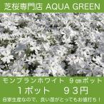 芝桜(シバザクラ)モンブランホワイト(白い花) 9センチ3号ポット 自家生産 高品質 最安値
