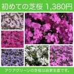 初めての芝桜 お試し15ポットセット!! 選べる3種類 × 5ポット お得な1380円 ※送料別