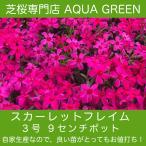 芝桜(シバザクラ)スカーレットフレーム(赤花)9センチ3号ポット 40ポットのセット レビューを書いて、芝桜に良い特典あり!