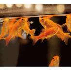 (金魚)小赤 100匹 きんぎょ 大和郡山産 エサ金 餌金
