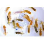 (国産金魚)協会系らんちゅう当歳魚 10尾セット