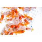 (国産金魚)宇野系らんちゅう当歳魚 4尾セット