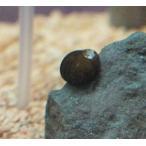 石巻貝 M (約10mm) 1個