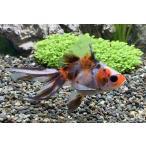 国産金魚 キャリコ琉金 SM(約 5cm)1匹 ※入荷日:2019年6月7日