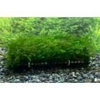 水草 南米ウィローモス おもり付きマット
