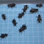 えさ用フタホシコオロギ Lサイズ 100匹 (トカゲ ヤモリ カエル 生餌 )