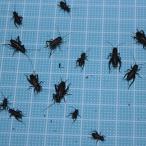 えさ用フタホシコオロギ Sサイズ 100匹 (トカゲ ヤモリ カエル 生餌 )