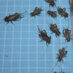 ヨーロッパイエコオロギ MLサイズMIX 100匹 (トカゲ ヤモリ カエル 生餌)エサ用