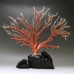 日本産桃珊瑚 拝見