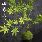人工観葉植物 山もみじの苔玉アレンジ こけ玉 盆栽 コケ玉 紅葉 光触媒を超える消臭効果 造花