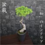 人工観葉植物/マキのインテリアポット/盆栽/造花/インテリアグリーン/卓上グリーン/お正月 迎春飾り/盆栽