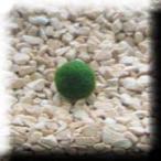まりも 約1cm 1個 Sサイズ マリモ 毬藻