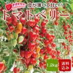 トマトベリー フルーツトマト 1.5kg 熊本産 内祝 出産内祝 ホワイトデー 贈り物 ギフト