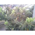送料無料 びわの葉500g 滋賀産 無農薬 ペットのエサ うさぎ 枇杷の葉 温熱療法 ビワ健康法 漢方 ポイント消化
