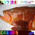 鮮度が命!!天然物 幻の魚「アコウ(赤水)1.0kg」
