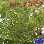 最近TVでも話題!!アカモク醤油(40g×40個) かいそう カイソウ 海藻 あかもく アカモク