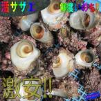 漁師が素潜りで採った活さざえ2kg詰め、20個程度 さざえ 栄螺 サザエ