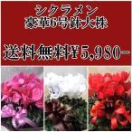 シクラメン6号鉢赤・ピンク・白4980
