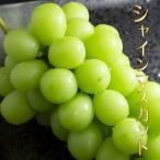 予約販売 シャインマスカット 2房 約1kg以上 ぶどう 山梨県産 葡萄 ブドウ 送料無料 生育状況により9月上旬以降順次発送