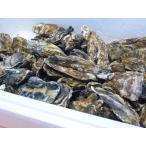 牡蠣14キロ(訳あり ハネモノ)厚岸西岸 仙鳳趾 生牡蠣(かき)(殻付き 生食)/牡蛎