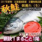 鲑鱼 - 北海道(鮭) 秋鮭 メス 生筋子 4.0〜4.4キロ前後 加工無し